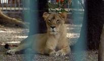 Another Lion ill at Etawah Lion Safari