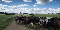 Murray Goulburn sets low Aussie milk price forecast