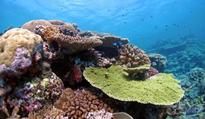 Cross-bred corals may boost reef survival