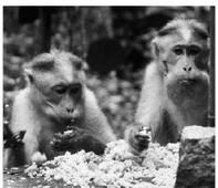 No plan to relocate simians in Bandipur National Park