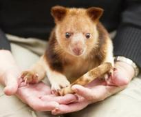 Orphaned Aussie tree kangaroo ready for move to Singapore Zoo