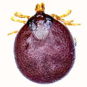 New bacteria discovered in Australian ticks