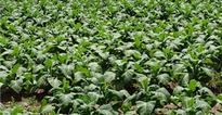 Smoking and sustainability: tobacco farming in Southern Africa