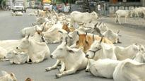 Unfazed by criticism, Rajasthan education minister stands by 'cows exhale oxygen' remark