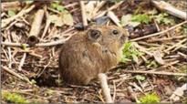 Bengaluru researchers discover rat-like mammal species in Sikkim Himalayas