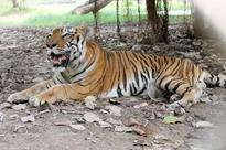 Kids in tow, villagers search for man-eating tiger