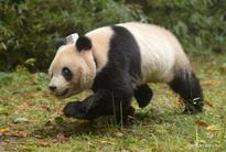 Pandas released, protection upgraded