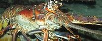 Florida's Spiny Lobster Fishermen Battle Blustery Weather to Start the Season
