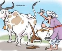 Collector stays Gujarat civic body's order on cow dung