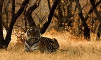 10 amazing facts about tigers
