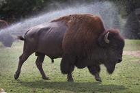 Bison: An American tragedy