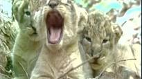 Good news for wildlife lovers: Over 100 lionesses reportedly pregnant in Gujarat's Gir Sanctuary