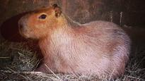 Capybara case closed with Bonnie and Clyde safely back home at High Park Zoo