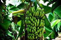 Banana crisis: Jamaica sees historic chance to come back as a leader