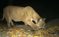Pet cat Calvin uses 1 of his 9 lives against big mountain lion