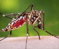 Fatal Attractions for Disease carrying Mosquitoes