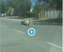 WATCH: Happy donkey rolling in Grahamstown street