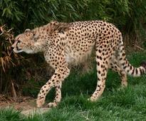 Arab national caught for selling cheetah
