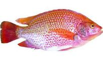 Telangana curbs on growing invasive fish