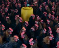 Now China's Wuxi to suspend poultry trade amid bird flu fears