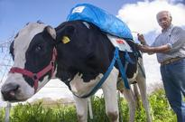 Only In California - Governor Jerry Brown Signs Bill To Regulate Cow Flatulence