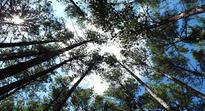 Loblolly pine at risk from pest