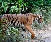National Tiger Conservation Authority Awaiting Nod For Drone Monitoring