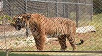 Katraj Zoo: Man jumps inside tiger enclosure, touches animal; rescued unharmed