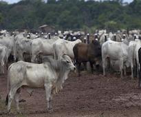 Maharashtra: Cow vigilantes assault youth over 'possession of beef'