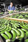 Agri official probed as banana exporters complain of extortion