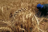 EU wheat steady as euro stays weak, Egypt supports export demand