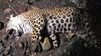 Not just tigers, leopards too need protection now