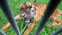 Sumatran Tiger Rescued from Wild Boar Snare in West Sumatra