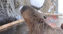 Little Capybaras Bathing Big With 'Long Bath Showdown' in Japan (PHOTOS, VIDEOS)
