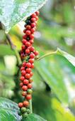 Unknown disease spreading across Lankan pepper cultivat ...