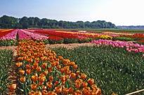 African growers threaten Dutch flower power