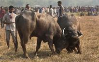 Buffalo fights on Magh Bihu violate Supreme Court ban