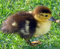 Ducklings are capable of abstract thought