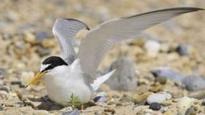 Drop in little terns numbers concerns RSPB