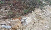 First tiger photographed in Darjeeling's Neora Valley