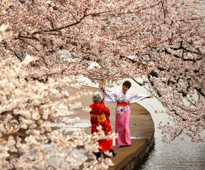 Cherry blossoms hit peak bloom in Washington DC