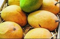 Alphonso worth Rs 80 lakh sold at mango festival in Nashik