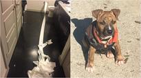 Yes, this dog tried to clean his pee with toilet paper and has become a star for it