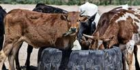 2 held for shifting beef cattle