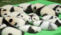 23 baby giant pandas born in 2016 make debut in Chengdu