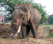 After 15 Years In Chains, 'World's Unluckiest Elephant' Freed After India's Longest Animal Rescue Operation!