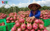 Dragon fruit growers seek more fresh-market outlets