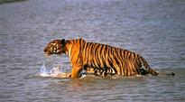 Global networks concerned over Indian data on tiger poaching