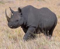 Cites against legalising rhino horn trade