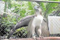 Pag-asa: The silver eagle